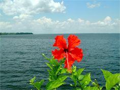 Hibiscus vermelha na praia. Escreva para contato@floresnaweb.com para encomendar suas flores para presente.