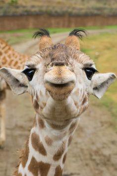 Cría de jirafa, África. ...