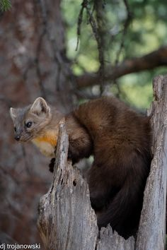 """"""" by Donna Trojanowski: I was fortunate to view and photograph this pine marten in a tree snag near Silver Gate, Montana wile on Nat Hab's Hidden Yellowstone Safari. Amazing Photos, Cool Photos, Pine Marten, Forest Ecosystem, Animal Species, Taxidermy, Wildlife Photography, Adorable Animals, Animal Kingdom"""
