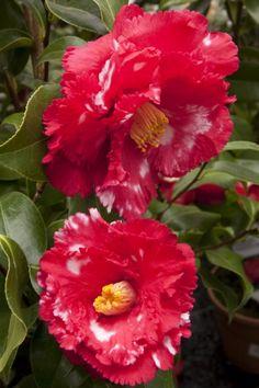 Camellia japonica 'Fred Sander Variegated' (U.S., 1945)