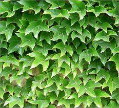 Boston Ivy Gt National Home Gardening Club Plants Garden Green