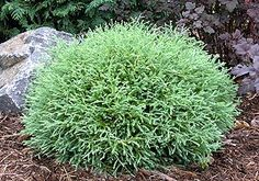 Evergreen 4x4Here's a good shrub for narrow spaces: Chamaecyparis thyoides 'Heather Bun'