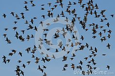 Sold today! A flock of Common Starlings, Sturnus vulgaris