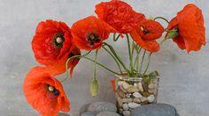How to grow poppies in winter | Australian Women's Weekly