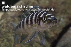 fishposter Fotoarchiv Neolamprologus cylindricus