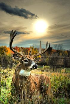 A massive whitetail buck with the dawn of a new day