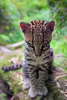 The fearsome ocelot (Leopardus pardalis) Nature Animals, Animals And Pets, Baby Animals, Funny Animals, Cute Animals, Funny Pets, Big Cats, Cool Cats, Cats And Kittens