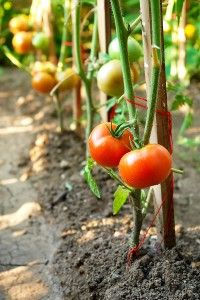 Tomatoes pruned to a single stake