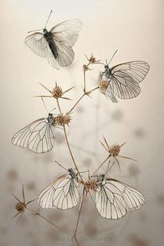 ~ gorgeous photograph (Aporia crataegi - Black-veined White butterflies by Igor Siwanowicz)