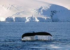 Pesquisa mostra que 60% dos japoneses são a favor da caça à baleia