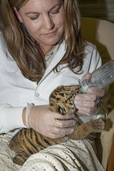 Warm Milk for a Tiny Tiger Tummy! Tiger Cub Being Hand-reared at the Animal Care Center by San Diego Zoo Global