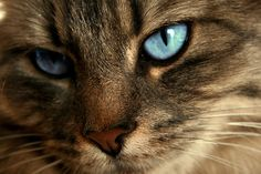 brown tabby cat with blue eyes - Google Search