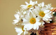 Wallpaper Popovic, basket, Leucanthemum vulgare