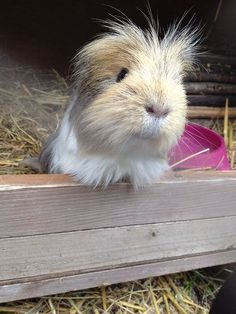 Avalon Guinea Pig Rescue | Flickr - Photo Sharing!