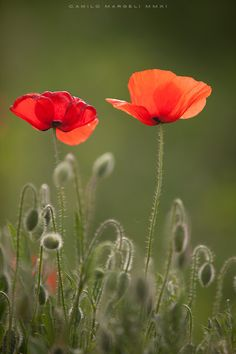 amapolas /poppies