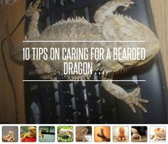 Breaded Dragon Food Chart Can Email The Doument Form Of