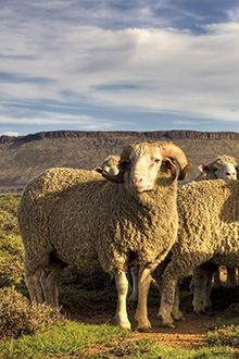 Midway between Steynsburg and Middelburg in the district of Schoombee is the recently opened a farmstay route in the heart of the Karoo African Elephant, African Animals, Heart Land, African Colors, Under The Rainbow, Sheep Farm, Free State, Out Of Africa, Beaches In The World