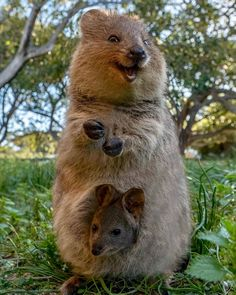 this Aussie Quokka baby is, you can too! Happy Animals, Animals And Pets, Funny Animals, Quokka Baby, Australian Animals, Destination Voyage, Wombat, Cute Little Animals, Tier Fotos