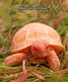 An albino animal is rare, but an albino tortoise? Check out this baby albino tortoise and watch the video. Tortoise As Pets, Baby Tortoise, Sulcata Tortoise, Tortoise Care, Tortoise Turtle, Pictures Of Turtles, Russian Tortoise, Turtle Love, Baby Turtles