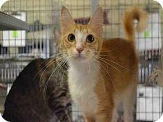 Ocala, FL - Domestic Mediumhair. Meet JASMINE, a cat for adoption. http://www.adoptapet.com/pet/13046667-ocala-florida-cat