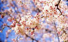 Spring in the Land of the Rising Sun