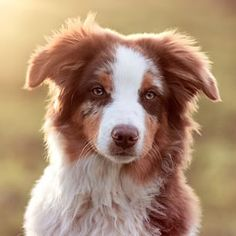 Australian Shepherds, or Aussies, are easily the coolest-looking dogs around.   19 Reasons Australian Shepherds Are The Best-Looking Dogs In The World