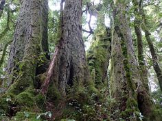 The oldest tree in the world, an Antarctic beech, is around 12,000 years old! (Queensland, Australia)