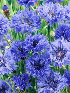 Cornflower  20 inches tall, 6 inches wide. Ideal growing conditions: full sun, well-drained soil.