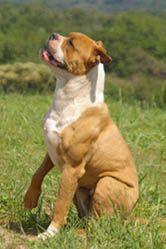 Cooper from Marina's Blue Kennel. American Bulldog puppies. www.americanbulldog.co.za Blue American Bulldog, American Bulldog Puppies, Marina Blue, Large Dogs, South Africa, Pitbulls, Cute, Animals, Big Dogs