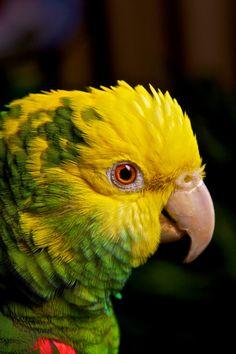 yellow head parrot