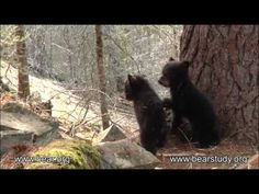 Herbie and Fran (3 month old Black Bear cubs) playing while Momma bear Jewel goes on a walk.  <3