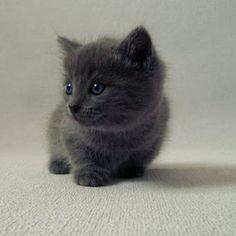 Baby Gray Kittens