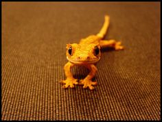 I kind of want a crested gecko. And they aren't as fragile as the leopard gecko. Les Reptiles, Cute Reptiles, Reptiles And Amphibians, Gecko Terrarium, Terrarium Reptile, Gecko Vivarium, Cute Lizard, Cute Gecko, Crested Gecko Care