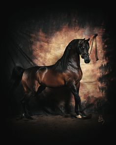 Pyro Thyme SA (Pryme Thyme x Holly Onfire GW) A 2000 Arabian stallion that holds Scottsdale and U. Free Horses, Horses And Dogs, Beautiful Creatures, Animals Beautiful, The Magic Faraway Tree, Arabian Stallions, Andalusian Horse, Friesian Horse, Beautiful Arabian Horses