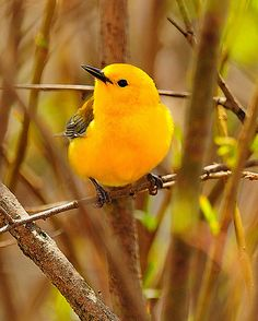Prothonotary Warblers breed in hardwood swamps in extreme southeastern Ontario and eastern US. It's the only eastern warbler that nests in natural or artificial cavities, sometimes using old Downy Woodpecker holes.