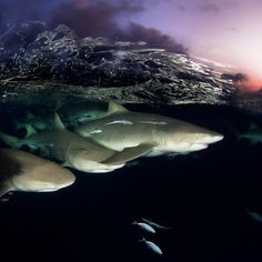 """""""Photo by @DavidDoubilet Lemon #sharks patrol the surface at dusk in the #Bahamas. The Bahamas has become a shark #sanctuary and a model of #conservation…"""""""