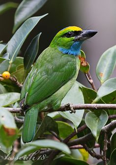 Yellow-crowned barbet (Megalaima henricii) Southeast Asia