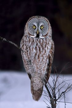 Portrait of a Great Grey Owl by Jim Cumming on 500px