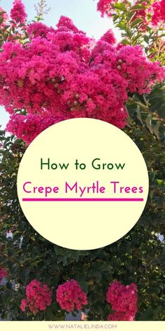 How to Grow Crepe Myrtle Trees Crepe myrtle trees produce large clusters of beautiful flower blooms that thrive in the … Crepe Myrtle Landscaping, Landscaping Trees, Front Yard Landscaping, Landscaping Design, Crepe Myrtle Bush, Crepe Myrtle Trees, Trees For Front Yard, Flower Pot Design, Gardens