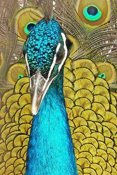 Favorite Things: Peacocks