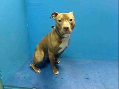 "TO BE DESTROYED 7/28/13 Brooklyn VADER A0972882 Male brown/white pit bull mix 1YR/6MOS Vader has had 18 months of who knows, 2 wks of a stable home & then whatever lousy treatment passes for ""care"" at the ACC. His SAFER scores are all over the map, which means that they're worse than useless. That test they did is not predictive, it is not helpful, but unfortunately, Vader is stuck with it. This pup is not going to get a second chance, so do everything you can to save his life, tonight!"