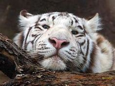 Tiger Conservation! Pictures, facts, links, information, comments are more than welcome.
