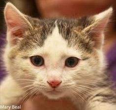 Mr. Big is an adoptable Domestic Short Hair - Gray And White Cat in Prescott, AZ. Mr. Big's Contact Info *** Questionnaire *** If you would like to meet Mr. Big, please download the questionnaire, fil...