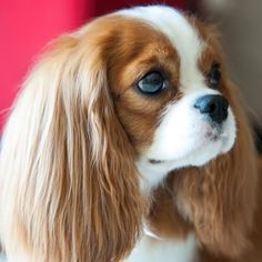 Beauty Cavalier King Charles Spaniels Puppy Dogs #CavalierKingCharlesSpaniel