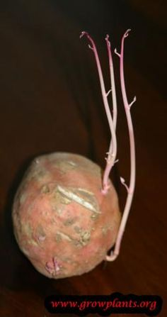 Sweet potato plant - How to grow & care Sweet Potato Plant, Growing Sweet Potatoes, Season Colors, Beef, Plants, Food, Meat, Essen, Meals