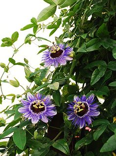 Passion flower vines are great to grow as attractive screens, floral cover-ups or simply over an arbor as decorative shading. Caring for these intricate flowers includes properly feeding passion flower vines. This article will help. Climbing Flowers, Climbing Vines, Climbing Flowering Vines, Flowering Plants, Magic Garden, Dream Garden, Beautiful Flowers Garden, Exotic Flowers, Outdoor Plants