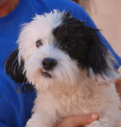 Patricia is a bubbly young girl debuting for adoption today at Nevada SPCA (www.nevadaspca.org).  She is a Lhasa-Poo, 2 years of age, good with other sweet dogs, and now spayed.  Patricia was found wandering the streets with no sign of responsible ownership (no ID tag, no microchip ID, not spayed).  Please help find her a responsible, loving forever home.