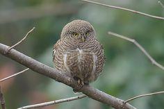 Asian Barred Owlet (Glaucidium cuculoides). Photo by Vijay Cavale.
