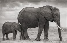 Nick Brandt · Elephant Mother with Baby at Leg · 2012Verfügbarkeit anfragen Check availability