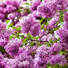 Cheap bush bearing, Buy Quality seeds high directly from China seeds bulk Suppliers: 50 FRENCH LILAC Syringa Vulgaris Flower Shrub Bush Seeds,Impressive~~ Plants, Spring Nature, Lilac, Shrubs, Lilac Tree, Syringa Vulgaris, Syringa, Lilac Flowers, Garden Shrubs